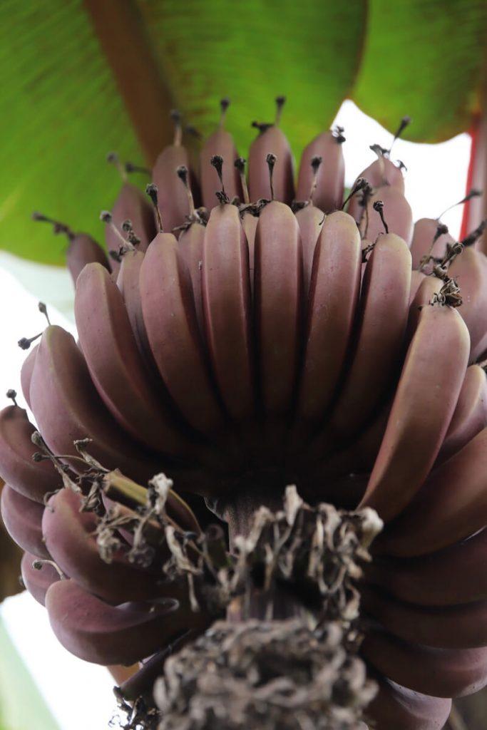 ハワイの赤いバナナ Morade Banana