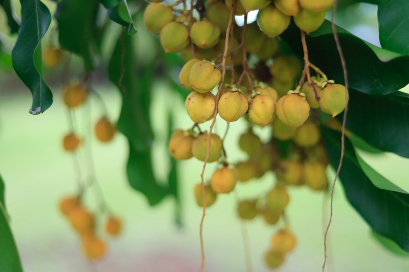 ハワイ島でヘーゼルナッツを採る。